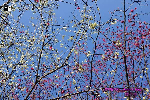 【台中。和平】愛戀福爾摩沙櫻。白花山櫻。松鶴部落櫻花林 @1817BOX部落格